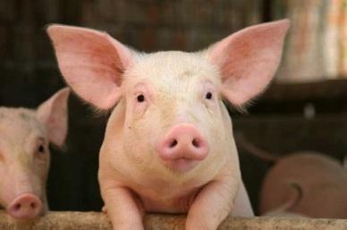 Tuyển 3 Nam TTS Chăn Nuôi Lợn làm việc ở tỉnh Chiba Nhật Bản